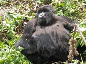 Gros gorille